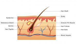 افزایش گردش خون در اثر مصرف قطره رویش مجدد مو و ابرو ارمغان طبیعت